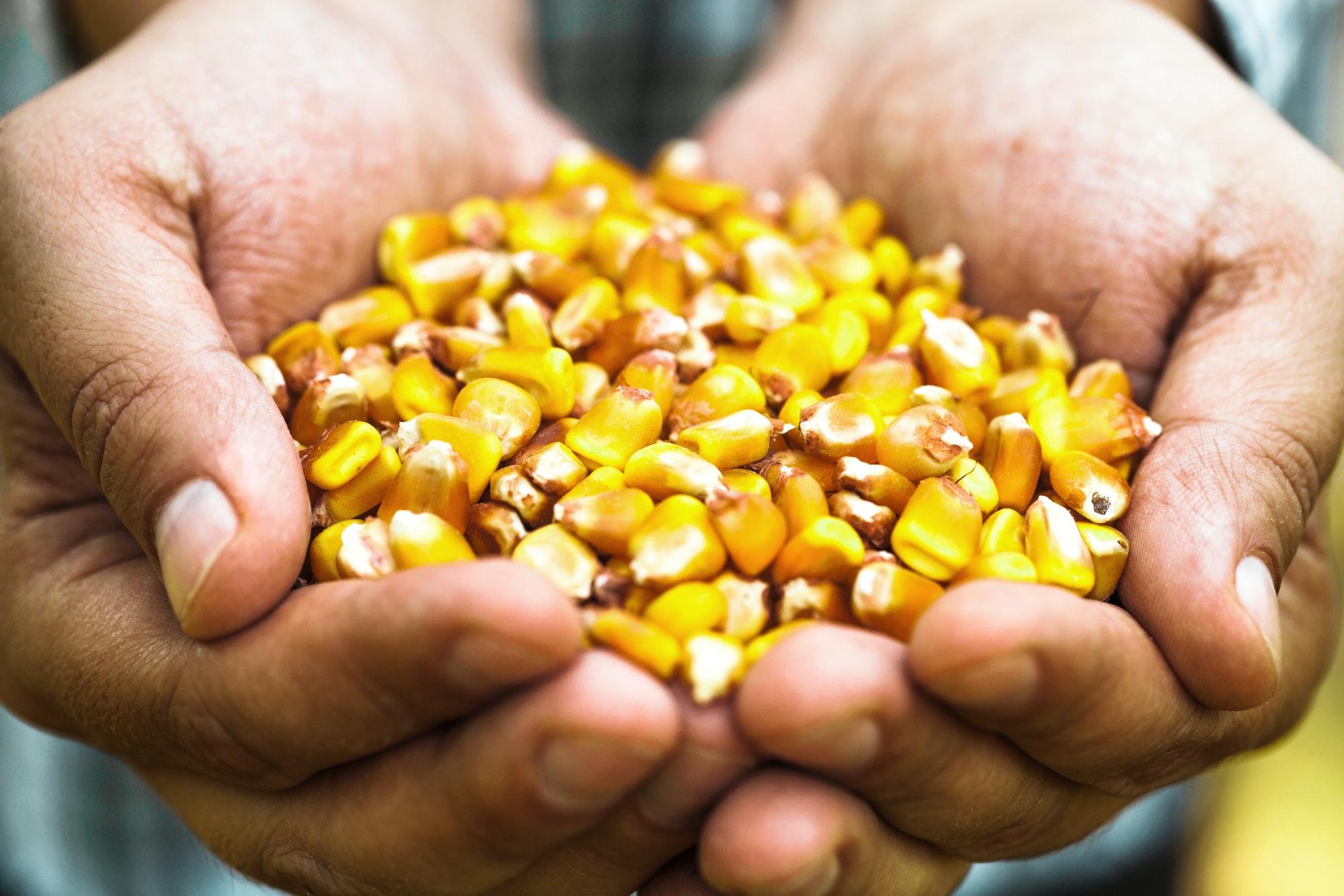 corn Folia PLA nowa